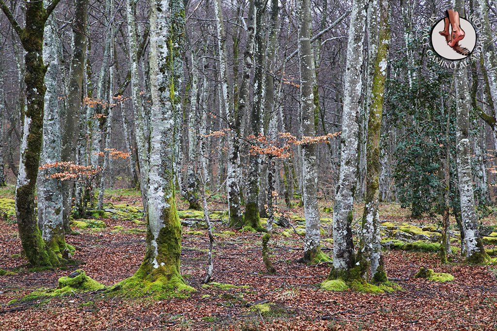 Bosque haya camino Salto del Nervión