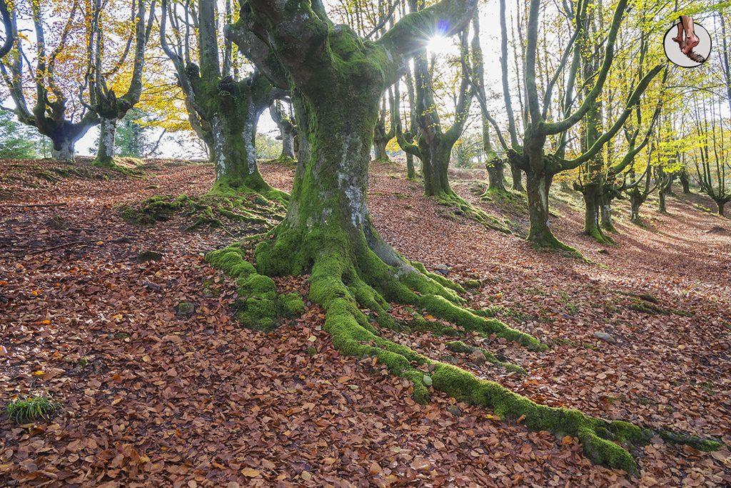 Hayedo de Otzarreta raiz verde