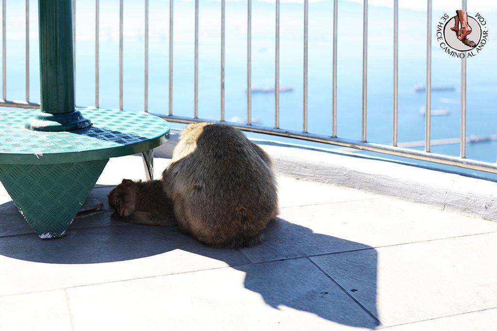 Mono sombra Gibraltar