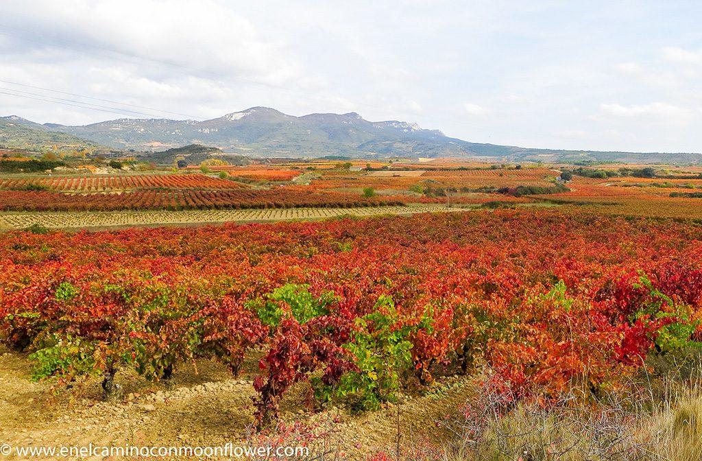 Rioja alavesa viñedo moonflower