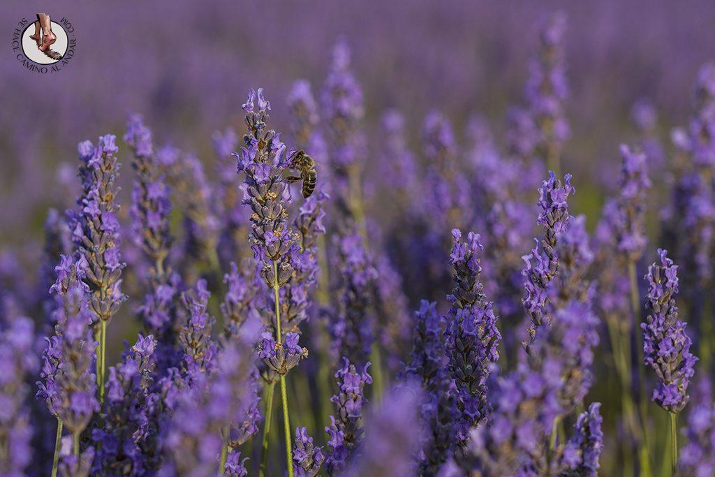 campos lavanda brihuega abeja