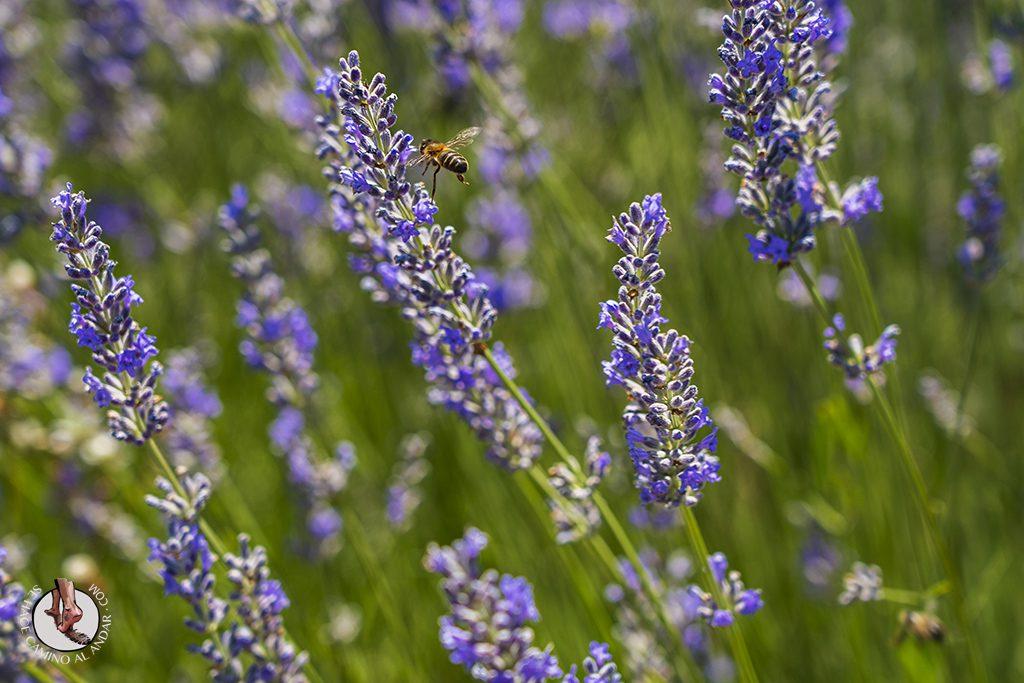 campos lavanda brihuega abejas