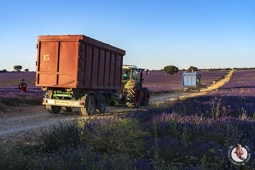 campos lavanda brihuega cosecha